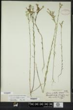Linum sulcatum image