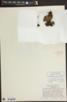 Pyxidanthera brevifolia image