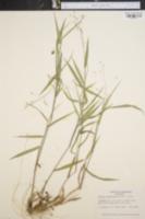Image of Panicum ravenelii