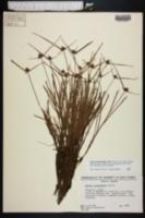 Image of Cyperus sanguindentus