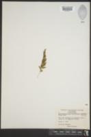 Trichomanes boschianum image