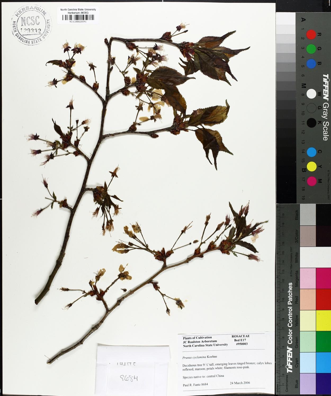 Prunus cyclamina image