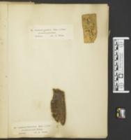 Leucogyrophana olivascens image