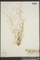 Galium divaricatum image