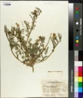 Image of Corydalis curvisiliqua