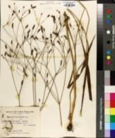 Eryngium ebracteatum image