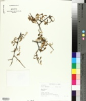 Image of Searsia incisa