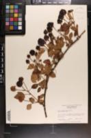 Rubus flagellaris image