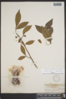Camellia sinensis image