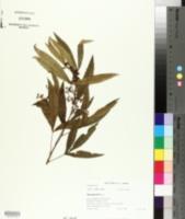 Image of Searsia gerrardii