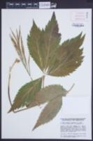 Image of Cardamine pentaphyllos