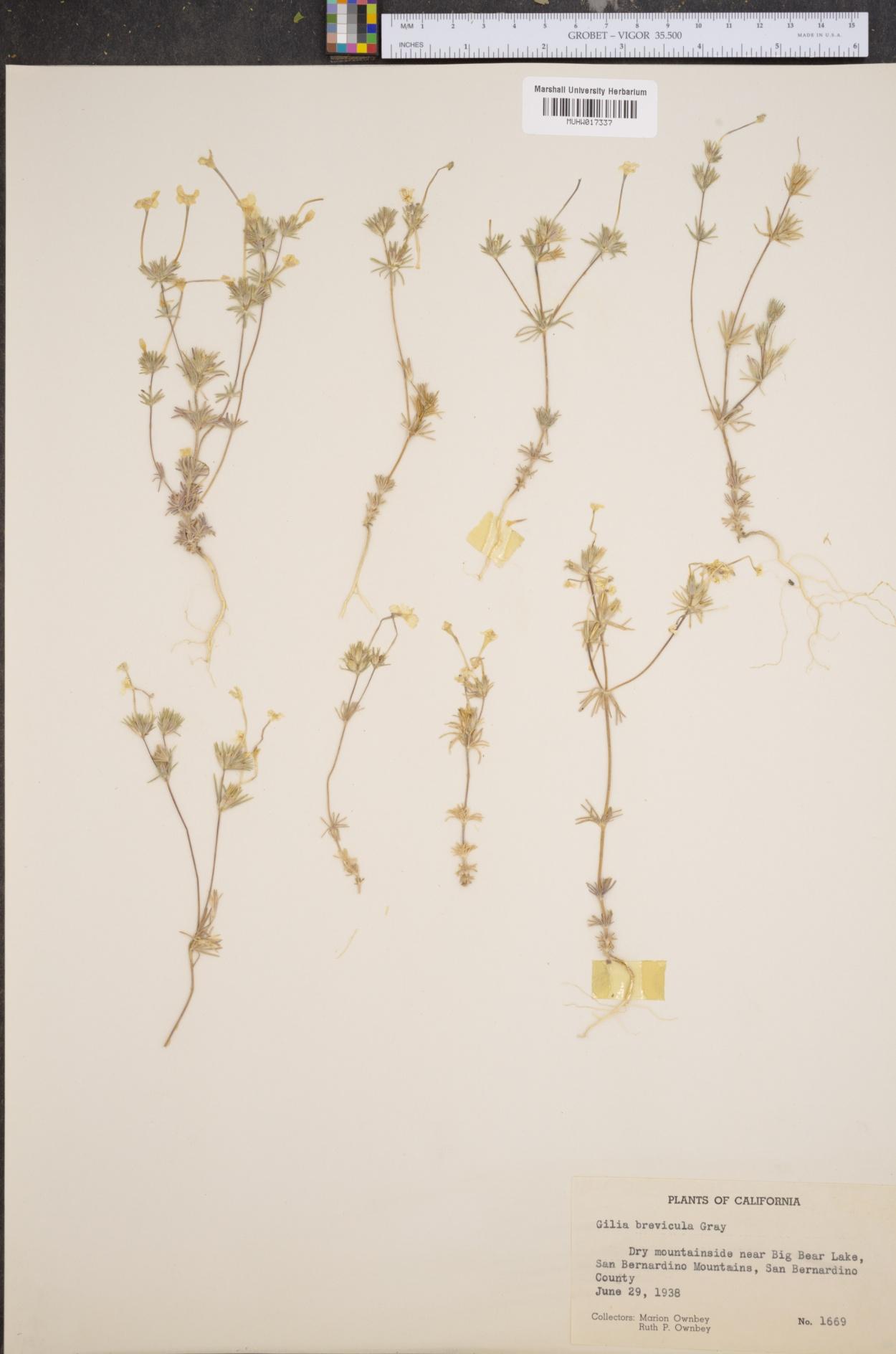 Gilia brevicula image
