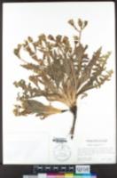 Crepis monticola image