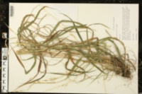 Image of Elymus churchii
