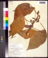 Acalypha wilkesiana image