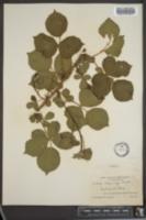 Image of Rubus longii