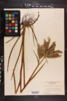 Lachnanthes caroliana image