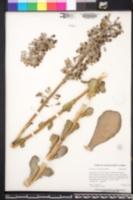 Kalanchoe luciae subsp. luciae image