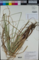 Carex barbarae image