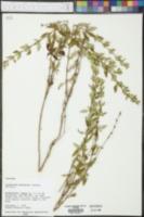 Calamintha georgiana image