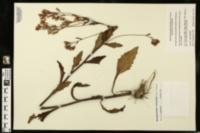 Arnoglossum sulcatum image