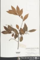 Image of Vaccinium bracteatum