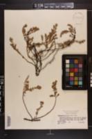 Chamaesyce buxifolia image