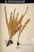 Image of Pleopeltis marginata