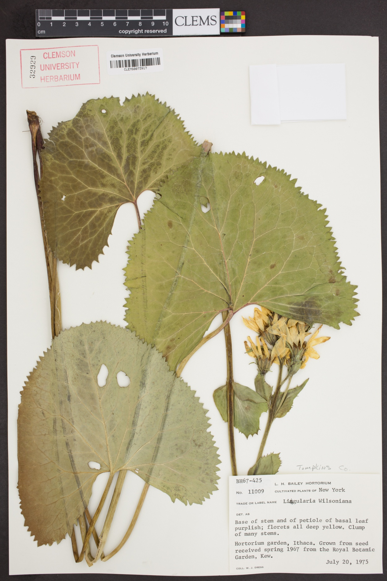 Ligularia image