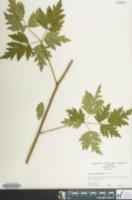 Image of Rubus coronarius