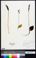 Image of Amerorchis rotundifolia