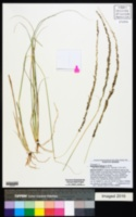 Sporobolus indicus image