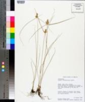 Cyperus fendlerianus image