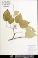 Viburnum molle image