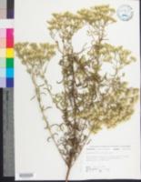 Image of Eupatorium linearifolium