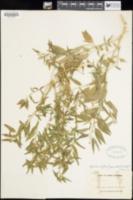 Hybanthus fruticulosus image
