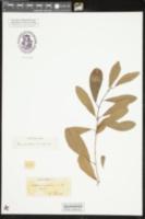 Gymnanthes lucida image