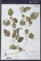 Physalis pubescens image