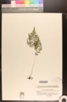 Image of Cystopteris montana