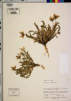 Oxytropis viscida image