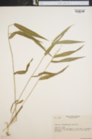 Image of Panicum oligosanthes