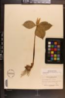 Trillium luteum image