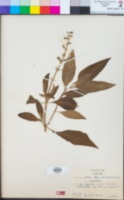 Image of Salvia albocaerulea