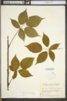 Rubus alumnus image