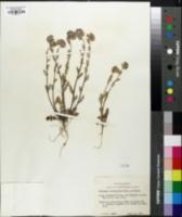 Nemophila pulchella image