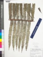 Image of Alsophila bryophila