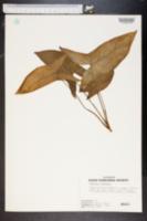 Image of Alocasia longiloba
