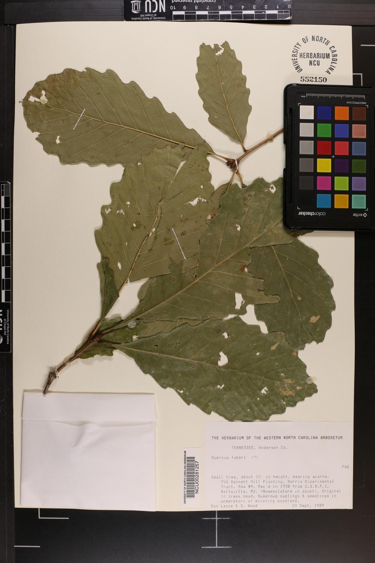 Quercus fabrei image