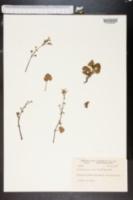 Image of Pelargonium odoratissimum