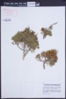 Image of Juniperus thurifera